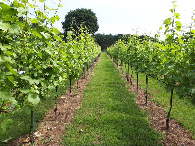 Wijngaard Zonnestraal - Klaar voor wijn!